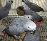 High Quality African Congo Grey Parrots