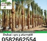 Medjool Date palm tree in Dubai 0582662554