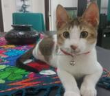 nino is a 5 months old male cat. vaccinated and healthy. energetic and likes to play