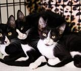 Yin Yang cats for adoption tomorrow, 21st July at Petzone Vet between 4 to 7 pm!!!! Please share!!!!