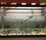 70*30aquarium with air pump,filter,heater and 30+zebra fish