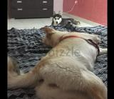 Two husky male and female for free adoption for family only are living in villa no apartment. Please