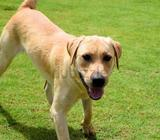 DATE OF BIRTH:01/07/2013GENDER: MaleBREED: Labrador RetrieverSIZE:Medium-LargeCHARACTERISTICS:Pablit