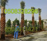 date palm washingtonian palm and all kind of trees