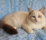Ragdolls Kittens Active/pet