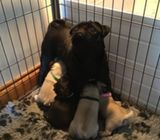 bokovachu stunning health tested akc Reg pug puppies
