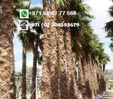 Florida palm tree sale in Dubai 0582662554