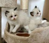 Fembe Dual Registered Proven Ragdoll  Kittens For Stud