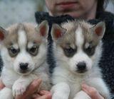 Fabulous Home Reared Siberian Husky Puppies