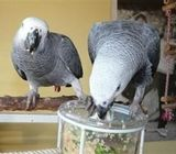 Pair of Talking congo African Grey Parrots for adoption