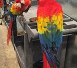 Breeding Pair Of Scarlet Macaws Birds Available!