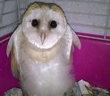 2019 2018 Barn owl close ringed A10 fed on a top quality diet  +278538706