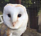 27780538706 Male Barn Owl born 1st August 2018