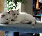 Registered Male and Female Ragdoll Kittens