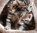 Bengal and persian kittens are available