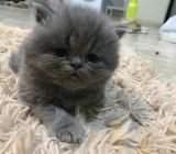 Kitten for sale with free delivery at you door step
