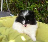 Pomeranian  spitz puppies