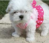 beautifull maltase puppy for adoption