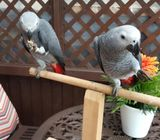 Hand Reared Tame Talking Baby Congo African Greys