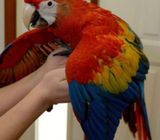 Scarlet,Blue and Gry & Green wing  Macaw parrots for new homes