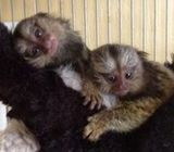 Beautiful Marmoset monkeys available for sale.