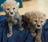 males and females cheetah cubs available for sale