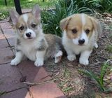 Amazing Pembroke Welsh Corgi Puppies For Sale