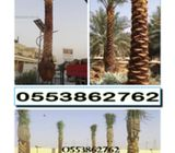BEST QUALITY DATE PALM