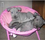 Thai Ridgeback Puppies For Adoption/Sale
