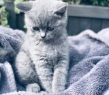 british shorthair available for lovely homes